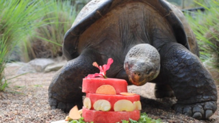 Galapagos Tortoise celebrates 68th birthday with 'cake'