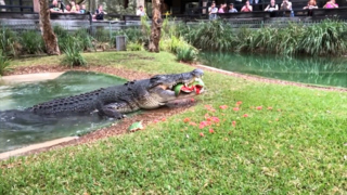 Cranky crocodile destroys watermelon with powerful jaw