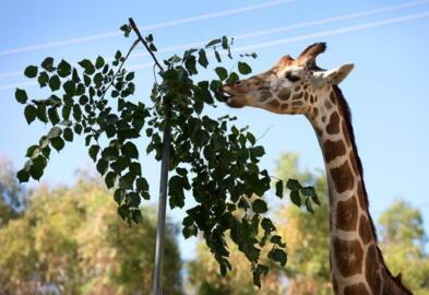 Goody, beloved giraffe with arthritis, dies after 20 years at Sacramento Zoo