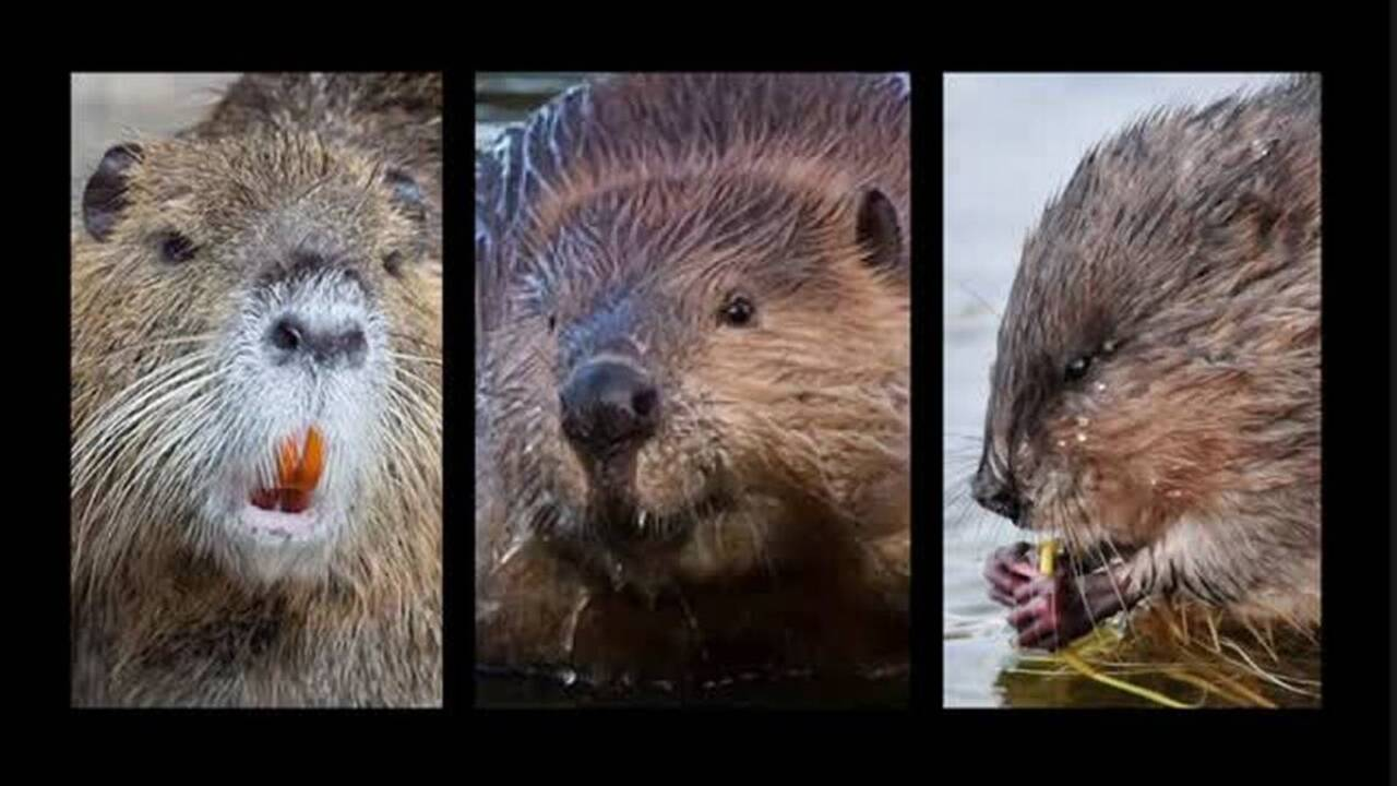 The state of California regrets to inform you that, no, you can't keep nutria as pets
