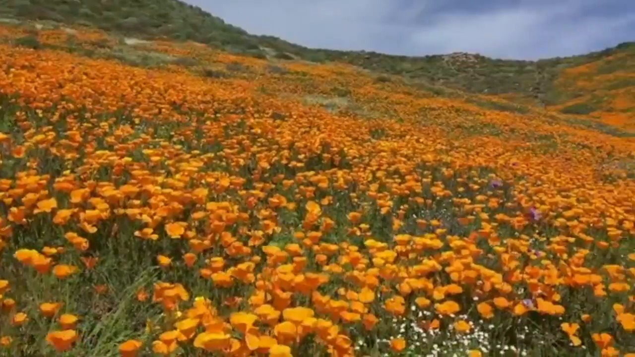 'Flowers all over!' See the gorgeous photos of California's wildflower super bloom