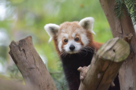 Red panda pregnancy confirmation