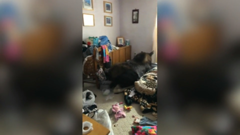 Moose on the loose: see moose who broke into home