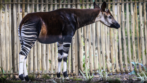 Rare 'forest giraffes', called okapi, are the newest residents at the Sacramento Zoo