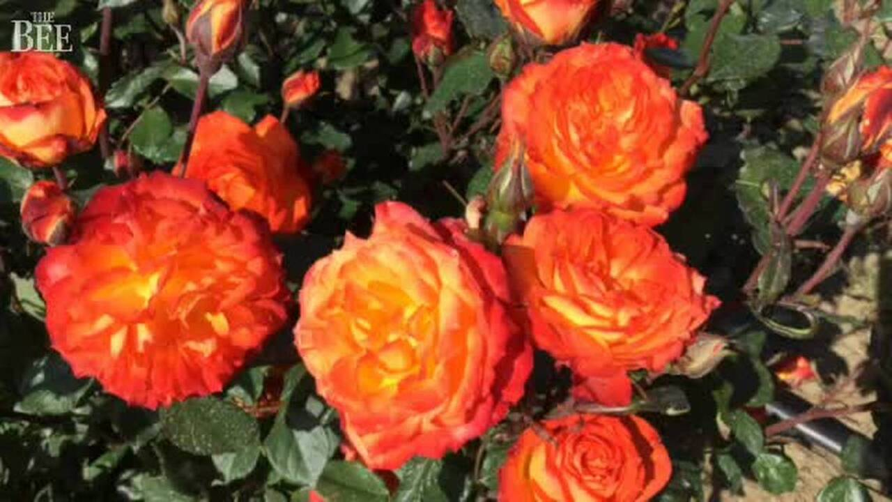 Image result for Fewer of us are taking time to smell -- or tend -- the roses as gardening evolves
