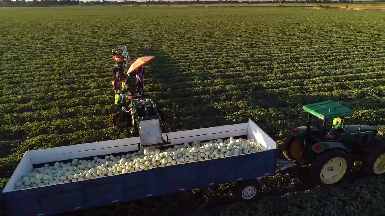Fly over this Sacramento Valley farm to see the 2019 melon harvest in action