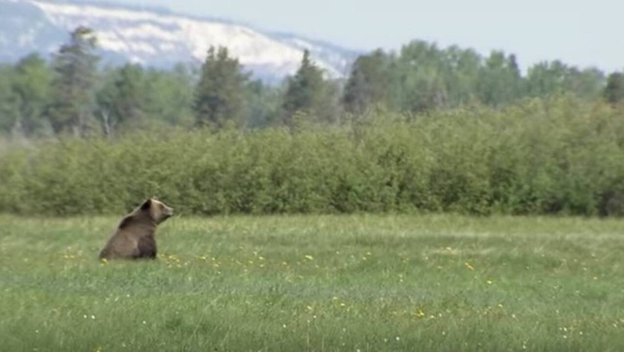 Dozens of grizzly bears at risk as livestock encroaches on Wyoming forest, groups warn