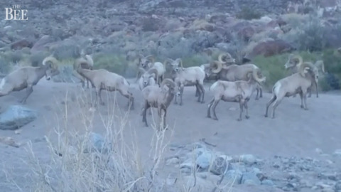 Cool video of bighorn rams butting heads in California