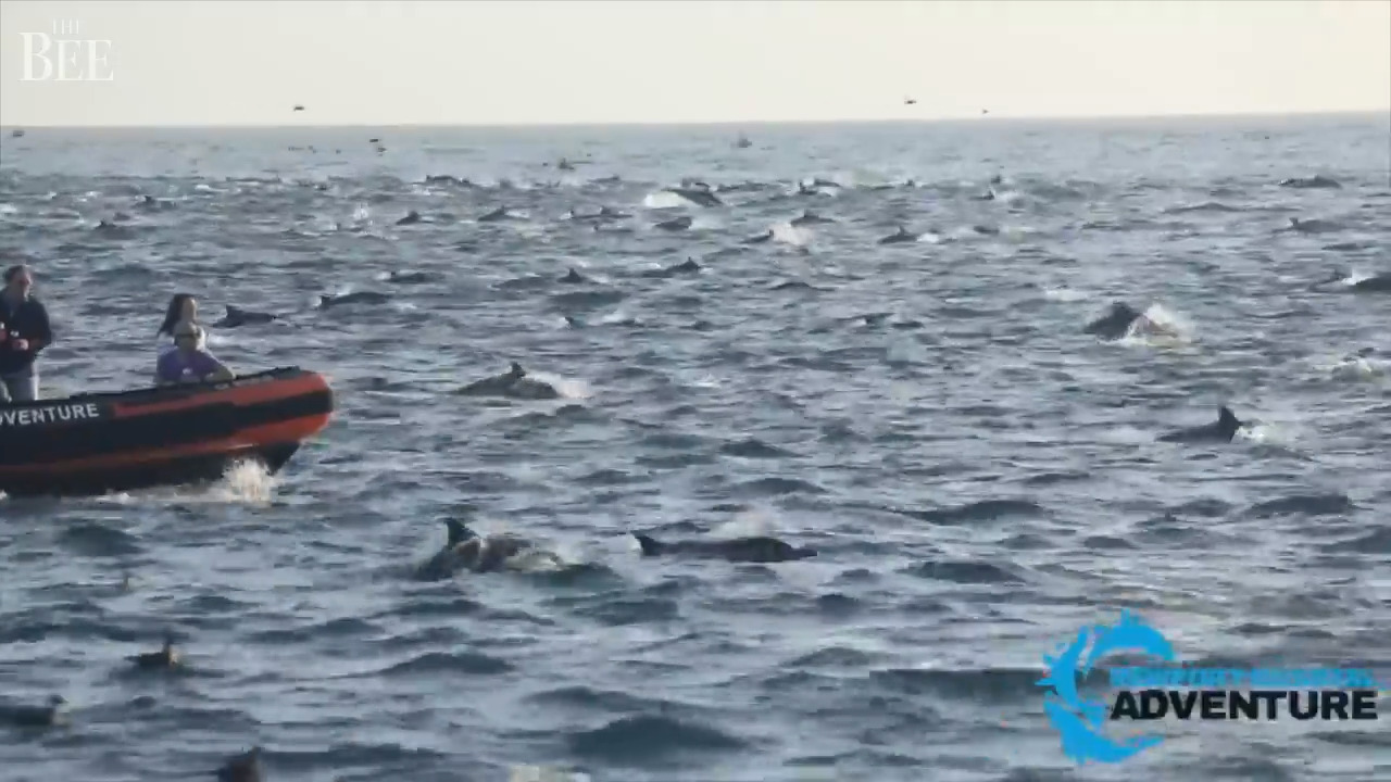 A thousand dolphins swim in superpod off Laguna Beach CA | The ...