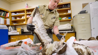 He allegedly left more than 100 hawks to rot. Hear how wildlife officers made their case
