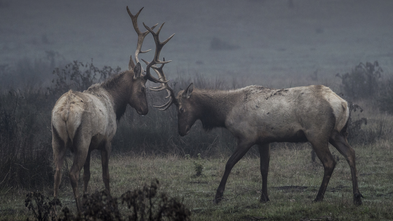Feds plan to kill elk at Point Reyes to protect ranches. Here's how you can weigh in