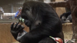 National Zoo welcomes birth of male gorilla named Moke