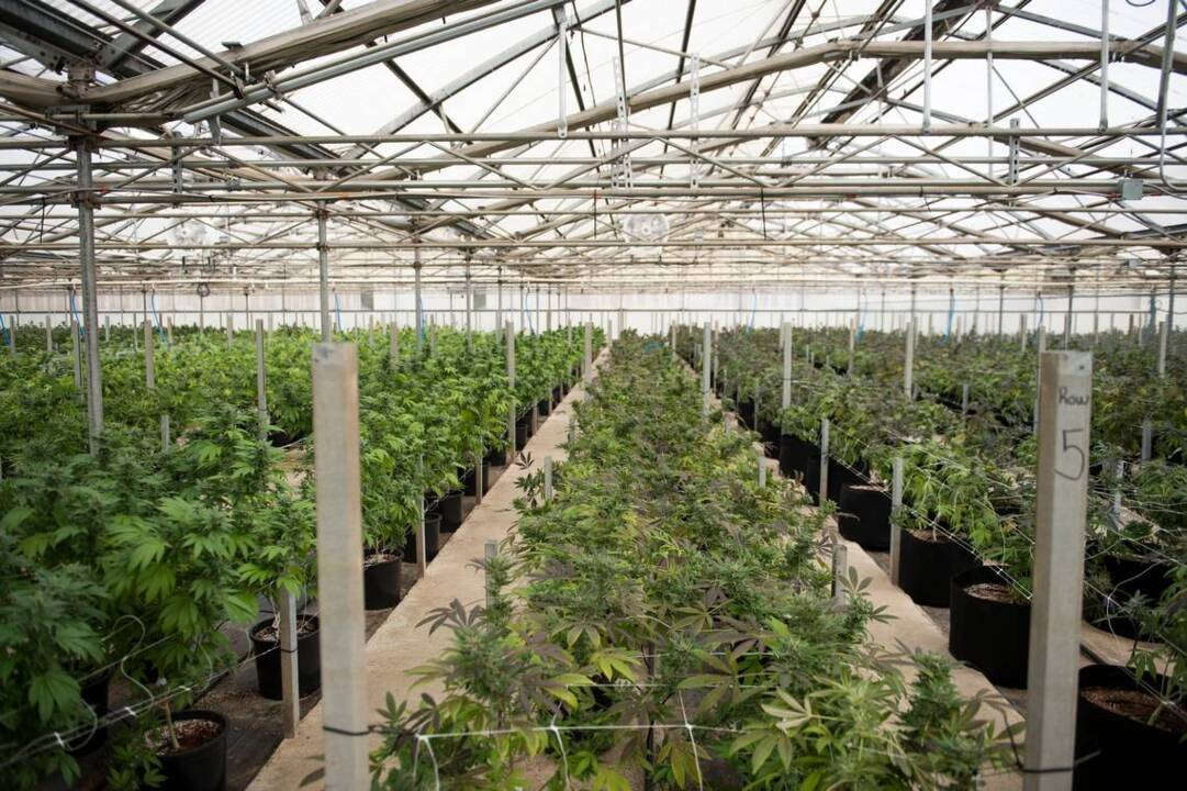 Commercial marijuana production booming in the Salinas Valley   The ...
