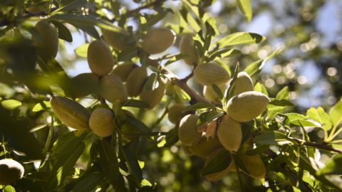 Appetite for California almonds still growing, but farmers feel squeeze from new water rules