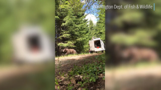 Ever seen a bear released into the wild? This relocation is loud with guns and dogs