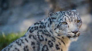 Here's the new snow leopard born at Sacramento Zoo