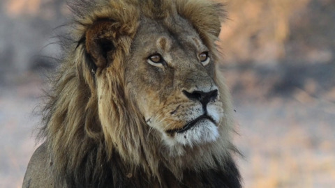 California may ban African trophies. Africans say that's bad news for animals