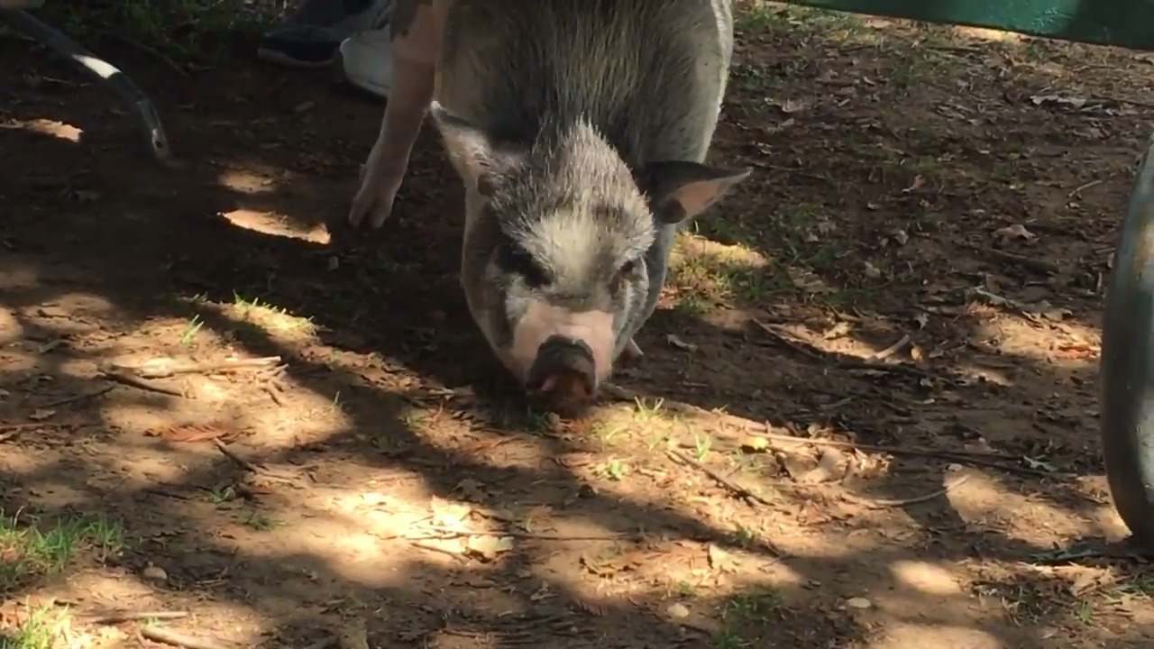 Watch this pot-belly pig enjoying food and music at Carmichael ...
