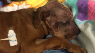 Sacramento shelter puppy recovering after brain surgery