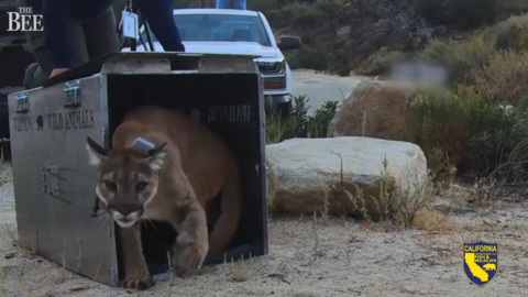 Injured in wildfire, mountain lion returns to wild after UC Davis care