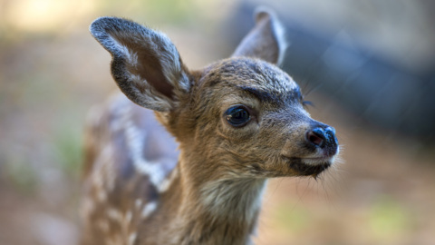 Loomis group rescues fawns from fires, car collisions — and misguided humans