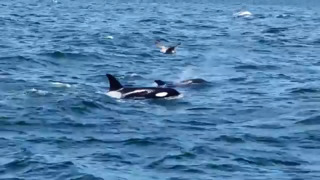 Watch killer footage of killer whales off coast of Monterey