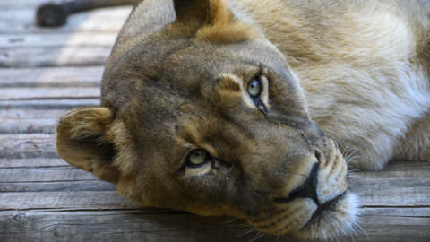 Get an up-close look of the lions at the Sacramento Zoo