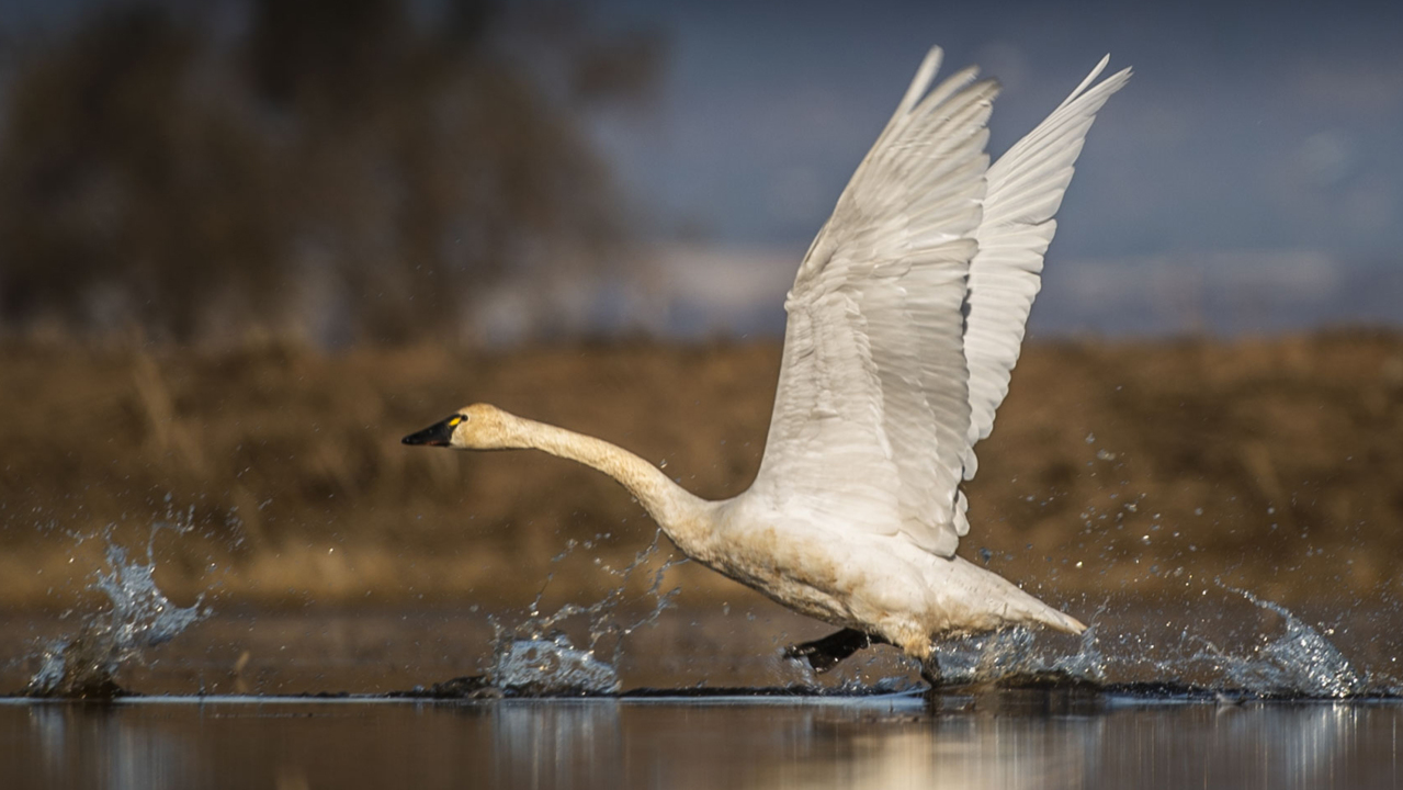 Tundra Racing Series >> Take in wild sights and sounds as swans, waterfowl return ...