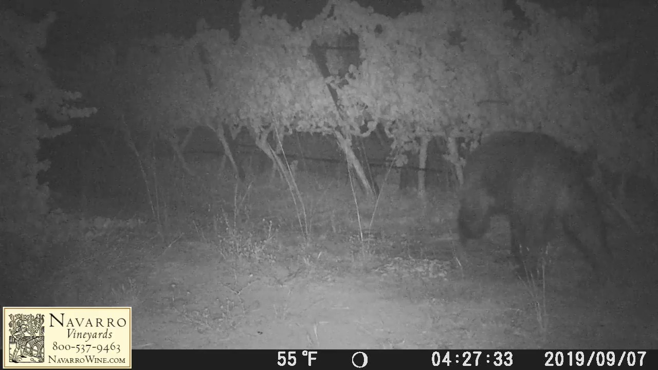 California vineyard catches a bear with expensive taste eating pinot noir grapes