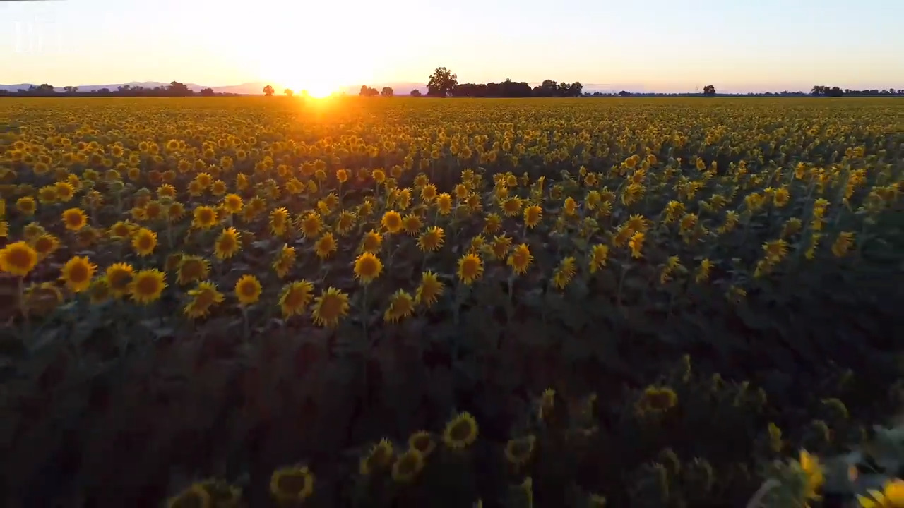 Take 45 seconds to fly over gorgeous sunflowers in Sacramento Valley