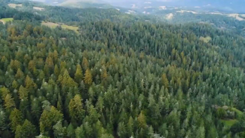 '23andMe for trees': UC Davis scientists map genome for two giant California trees