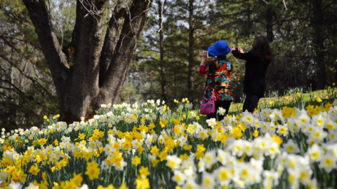 Daffodil Hill set to open this weekend, but more rain could put a damper on the party