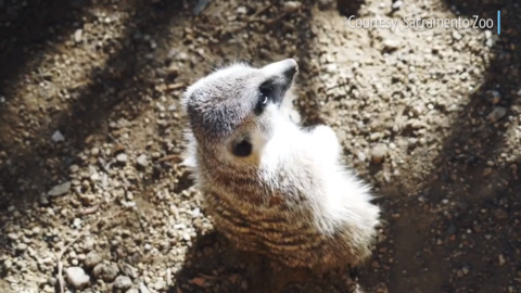 There's a new family on the block: Meerkat exhibit opens at Sacramento Zoo