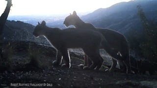 See beautiful, new video of mountain lions above Los Angeles