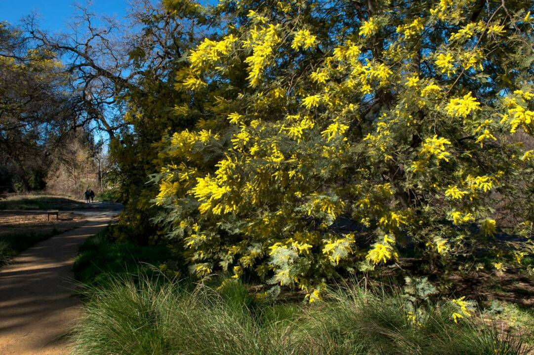 Acacia Trees In Bloom At Uc Davis Arboretum The Sacramento Bee