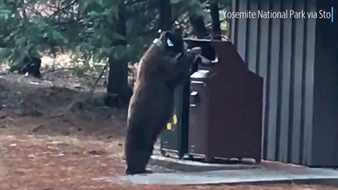 Yosemite is onto this collared bear: Watch him try to break into trash can