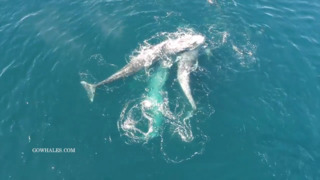 Watch drone footage of beautiful whales, dolphins swimming in Monterey Bay