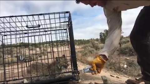 Young bobcat growls at officers during release in Utah
