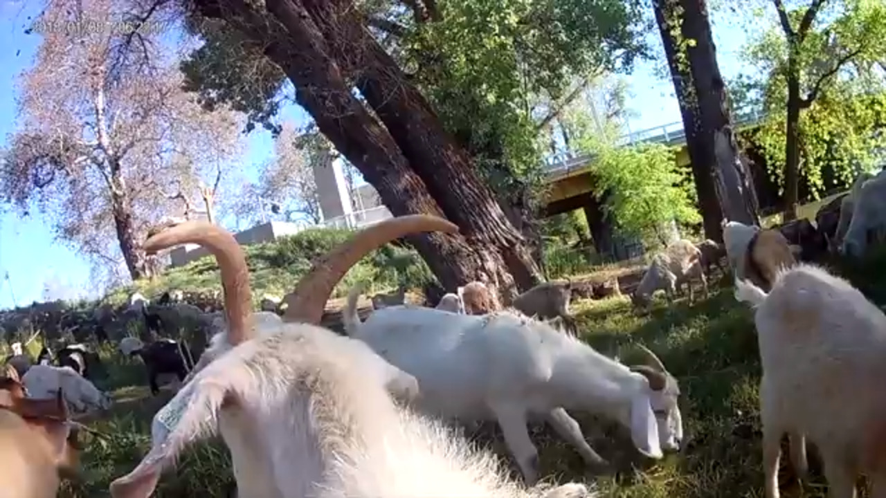 Check out a goat-pro view of West Sacramento's fire-reduction team