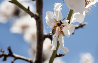 Need good news for COVID-19 economy? Central Valley almond crop is record  by far