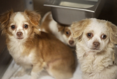 19 chihuahuas rescued from Riverbank apartment are available for adoption