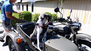 Meet Waffles, Modesto's motorcycle-riding dog