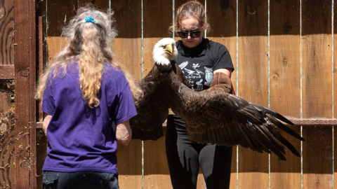 Bald eagle waiting for donor feathers before it can fly again