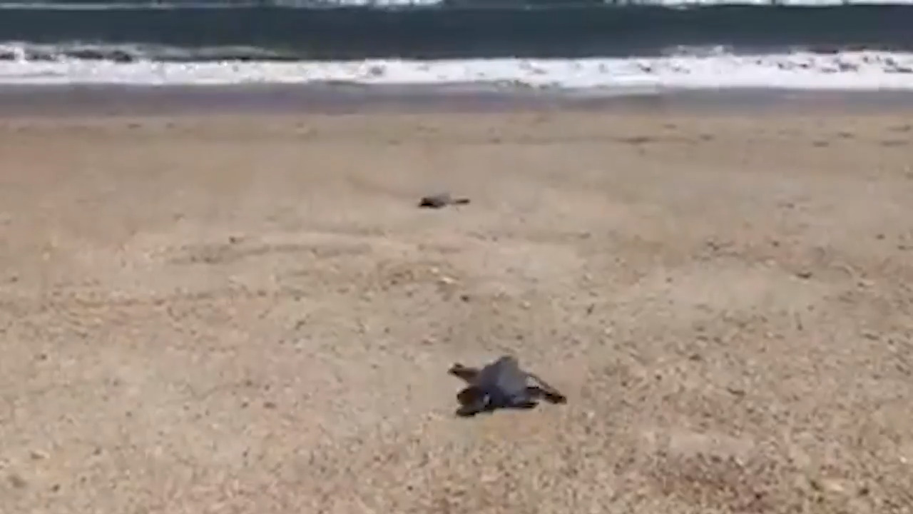 As storm flooded the Outer Banks, baby sea turtles rescued from their nest, video shows