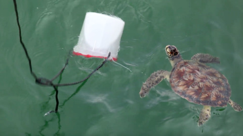 What do sea turtles do for fun? This one plays with a bucket of crabs