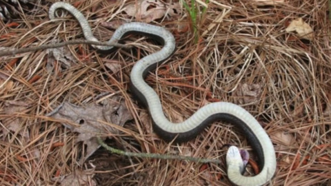 This NC snake likes to play dead