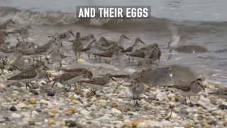 Horseshoe crabs help us. it is time we help them.