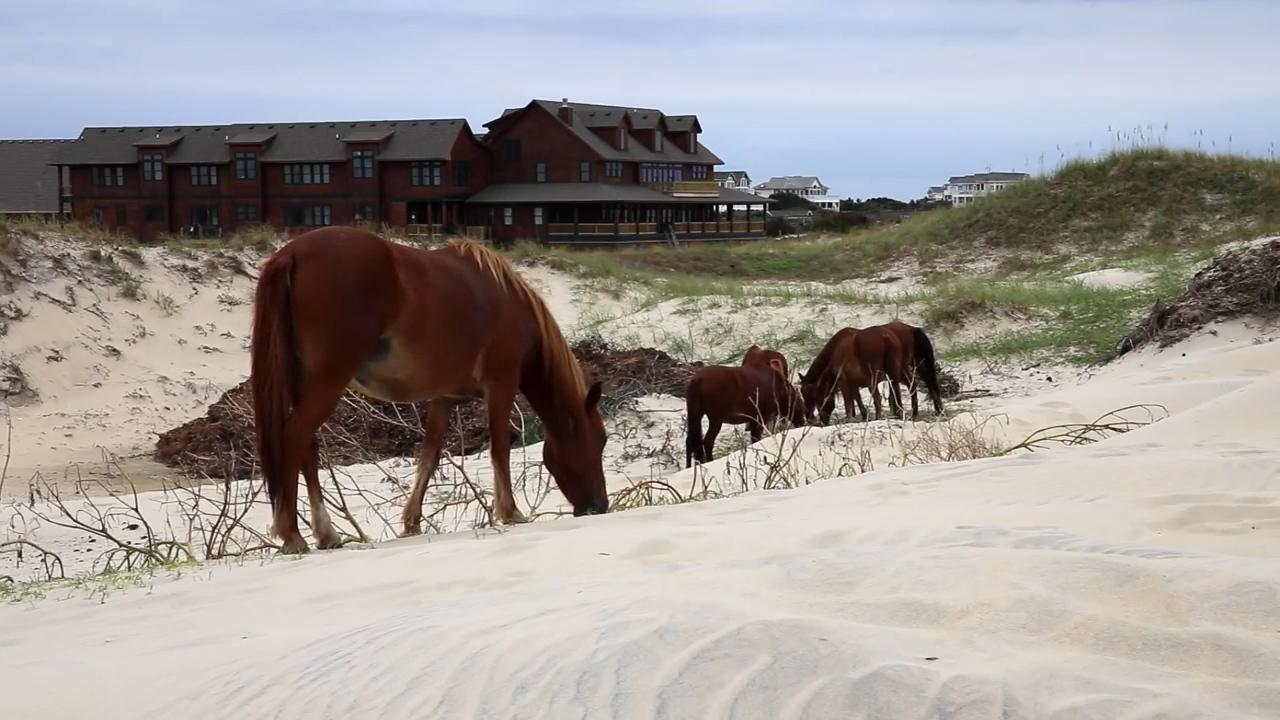 Raymond can't be tamed. Now the last Outer Banks mule is retiring to greener pastures