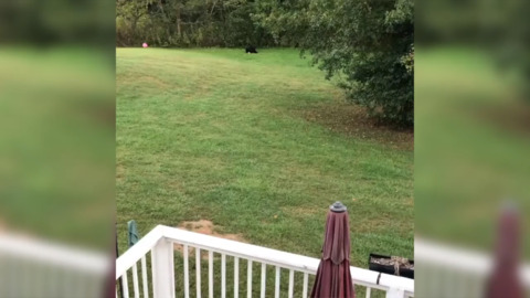 Video: Bear finds a soccer ball in NC backyard and has more fun than you can imagine