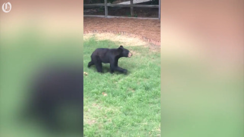 Be on the lookout, Garner — there's a bear roaming around town